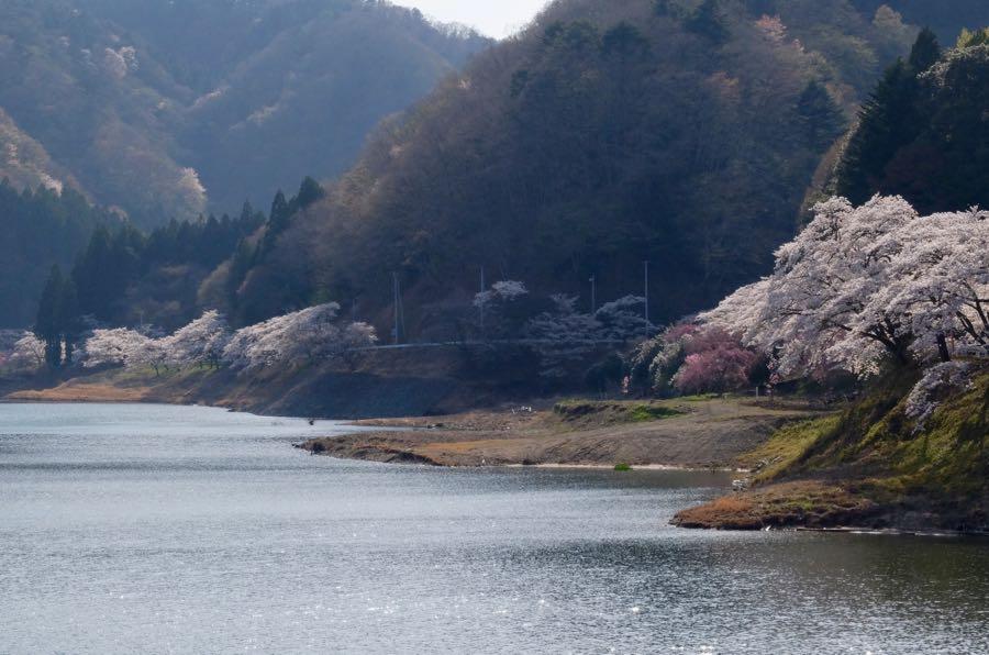 五年たっても立入規制がつづく。人はいなくても桜は咲く。 福島第一原発が近く放射線量が高いため、五年たった今もなお二輪車・自転車の通行規制が行われていました。事故前は、地元のへらぶな釣り師が竿を並べる好釣り場だったという坂下ダム。なるほど岸は釣り座を据えれば、自分だけの夢の世界がひろがりそう。事故から釣り人が遠のき、へらぶなも巨大化しているかもしれません。そういえばゴジラは放射能で巨大化したんだっけ。 見る人もいない湖周の桜が律儀に咲いていた。